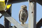 Woestijnsteenuil / Little Owl