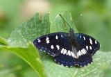 Blauwe IJsvogelvlinder / Southern White Admiral