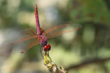 Purperlibel / Purple blushed Darter