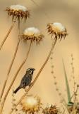 Moabmus / Dead Sea Sparrow
