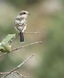 Roodkopklauwier / Woodchat Shrike