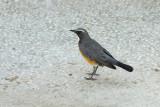 Perzische Roodborst / White-throated Robin