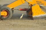 Koereiger / Cattle Egret