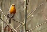Roodborst / Robin