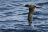 Kuhls Pijlstormvogel / Cory's Shearwater