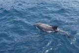 Tuimelaar / Bottlenosed Dolphin