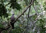 Bolles' Laurierduif / Bolle's Pigeon - Las Mercedes