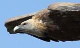 Vale Gier / Griffon Vulture