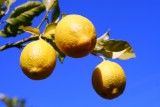 citrony.jpg