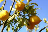 citrony2.jpg