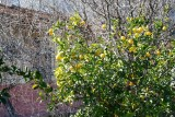citrony3.jpg
