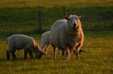 Last minute sheep