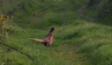 A Pheasant Evening