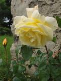 Village Roses