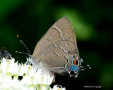 Gossamer Wings (Lycaenidae):  Coppers, Hairstreaks and Blues
