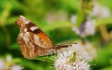 American Snout (Libytheana bachmanii)