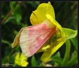 Primrose moth (Schinia florida) in Evening primrose,  #11164