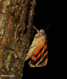 Underwing Moths (Family: Erebidae; Tribe Catocalini) 8719-8867