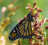 Monarch butterfly  (Danaus plexippus) resting on Sorghum