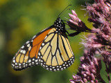 Monarch nectaring on joe-pye Weed (Eupatorium maculatum)