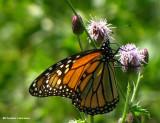 Monarch on Canada thistle (Cirsium arvense)