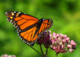 Male Monarch nectaring on swamp milkweed (Asclepias incarnata)