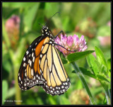 Monarch  nectaring on red clover (Trifolium pratense)