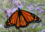 Monarch nectaring on  new england asters (Aster novae-angliae)