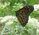 Monarch nectaring on queen  anne's lace (Daucus carota)