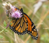Monarch nectaring on Canada thistle (Cirsium arvense)