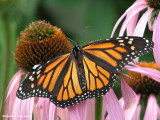 Monarch nectaring on coneflower  (Echinacea purpurea)