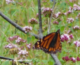 Monarch nectaring on Wild oregano (Origanum vulgare)