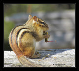 Chipmunk with lunch