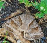 Clover Looper (Caenurgina crassiuscula), #8738
