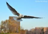 Gulls of the FWG