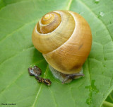 Slugs and Snails (Gastropoda) of the FWG