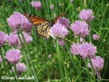 Monarch  nectaring on chives