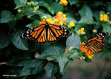 Monarchs nectaring on lantana