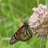 Monarch nectaring on common milkweed