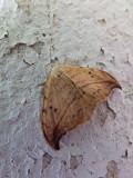 Arched hooktip (Drepana arcuata), # 6251