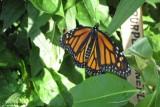 Newly emerged monarch
