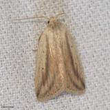 Family: Erebidae; Tribe Omopterini.  9818