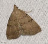 Complex Zanclognatha (Zanclognatha protumnusalis), #8349