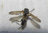 Tachinid fly (Hemyda aurata)