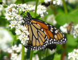 Monarch nectaring on buckwheat flowers