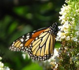 Monarch butterfly  nectaring on butterfly bush (Buddleia)