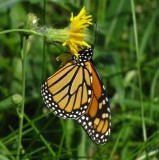 Monarch nectaring on sow thistle (Sonchus)