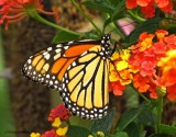 Monarch nectaring on lantana