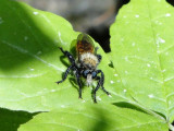 Robber Fly (Laphria sp.)