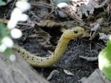 Leucistic Garter Snake